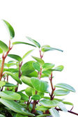 Green plant isolated on white background — Stock Photo