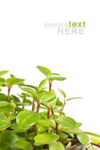 Green plant isolated on white background — Stok fotoğraf