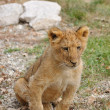 Lion Cub — Stock Photo #8866620
