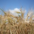 Barley field on a sunny summer day — Stock Photo #8176061
