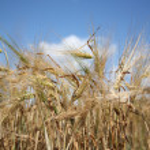 Barley field on a sunny summer day — Stock Photo #8176061