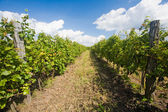 Late fall at the vineyards. — Stock Photo