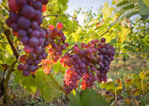 Fall in the vineyards — Stock Photo