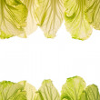 Lit-thru cabbage leaves. - Stock Photo