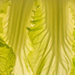 Beautiful cabbage leaf macro lit-thru. — Stock Photo
