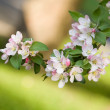 Tree branch rich with spring flowers. — Stock Photo