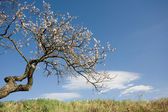 The old fruit tree still blossoming. — Stock Photo