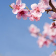 Gorgeous spring cherry flowers in sunshine. — Stock Photo