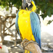 Blue and Gold Parrot — Stock Photo