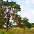 Pine in the field - Stock Photo