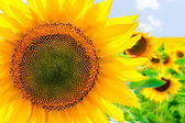 Sunflower in a summer sunny day against the clear sky — Stock Photo