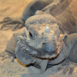 Stock Photo: Iguanlizard head close up