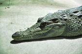 Portrait of a crocodile — Stock Photo