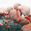 Pink flamingos in zoo. winter time. — Stockfoto