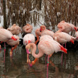 Stock Photo: Pink flamingos in zoo. winter time.