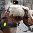 Stock Photo: Profile of carriage horse close up