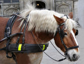 Profile of a carriage horse close up — Stock Photo