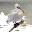 White Pelican in Prague zoo. Winter time — Photo