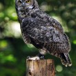 Owl in the woods - Stock Photo