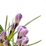 Crocus flowers — Stock Photo