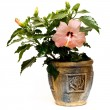 Hibiscus flower in a pot — Stock Photo