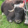 Musk ox — Stock Photo