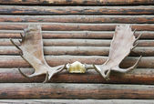 Antlers — Stock Photo