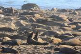 Éléphants de mer — Photo