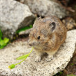 Small rodent - Pika — Stock Photo