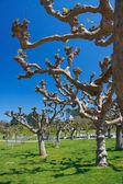 Platanus trees — Stock Photo