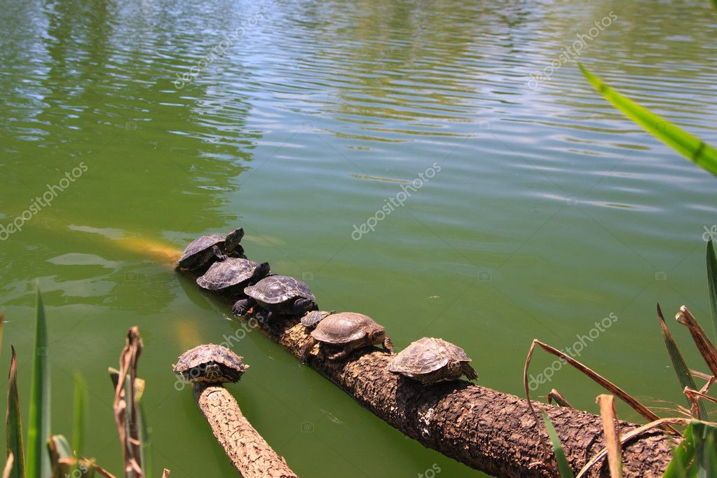 Turtles on a log by the water in Golden Gate Park, San Francisco — Stock Photo #9424196