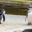 Penguins — Stockfoto #9520051