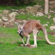 Stock Photo: Eastern Grey Kangaroo