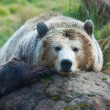 Grizzly bear — Stock Photo #9520709