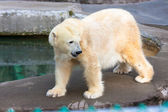 Polar bear — Foto Stock