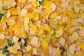 Gingko liści — Zdjęcie stockowe