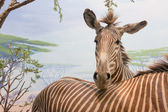 Zebre — Foto Stock