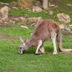 Eastern Grey Kangaroo — Stock Photo