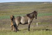 Icelandic horses. — Stock Photo