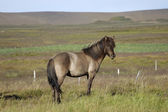 Icelandic horse. — Stock Photo
