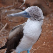 Blue footed Booby bird, Galapagos — Stock Photo