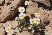 White chamomile flowers. — Stock Photo
