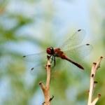 Libélula Roja se asienta sobre una rama — Foto de Stock