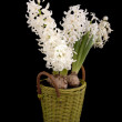 White Hyacinths — Stock Photo