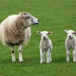 Stock Photo: Sheep and two lambs in field
