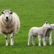 Sheep and two lambs in field — Stock Photo