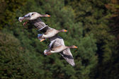 Three Flying Geese — Stock Photo
