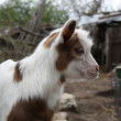 Stock Photo: Goat farmyard