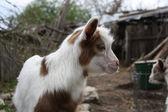Goat farmyard — Stock Photo