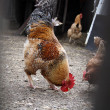 Cock in the farmyard — Stock Photo